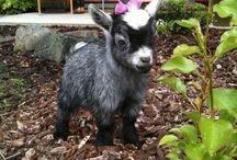 Goats / All about goats! / by Samantha Johnson