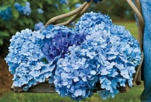 Garden-Hydrangeas / I've got many of them in my garden. They are my favorite. / by Yvonne
