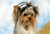 Toybox Yorkies / There are pictures of my Yorkshire Terriers, either in Show Coat or Puppy Cuts.