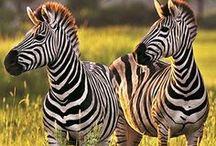 Voyage en Afrique / L'Afrique le continent des amoureux des grands espaces et des animaux sauvages. Récits et photographies de voyage. Culture et traditions. Conseils pour voyager en Afrique.