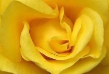 Sun Kissed Yellow