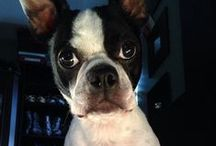 Boston Terrier / Boston Terrier