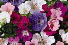 Gardening | Perennials I want to grow