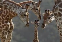 Giraffes!!! / by Carolyn Reed Cate