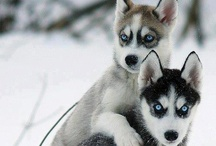 Huskies and Malamutes <3 / by Nicola