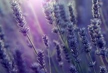 lavender love / lavender field beautiful lilacs. Purple flowers with the most amazing scents