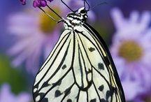 Lepidoptera: Jewelled Wings