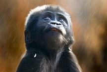 Apes / by ☮☾☼✧Amanda Kraenzle