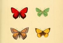 Butterfly illustrations from the 1800s