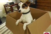 Jack Russell  / Amazing! Jack Russell Terriers are sweet, lovable, mind-readers, funny, brave, optimistic, joy, ever-ready, super-intelligent and just plain awesome! / by Aerie*Earth*Sea