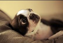 Boston Terriers / by Lauren Haley