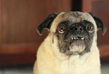 I Love Pugs! / Pug, pug, pug, pug, pug, pug, pug, pugs, pugs, pugs, pugs, pug puppies, pug puppies, pug puppies, pug puppies, pug puppies, puglets, puglets, puglets, puglets, puglets, puglets, pugs, pugs, pugs, pugs, pugs, etc.  / by Manda Bearer