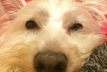 Westies's Rock the House! / by Shelley Gentry