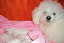 My little dog lady CINDY / Bichon Bolognese CINDY Dapeny Bohemia (*2.2.2008)