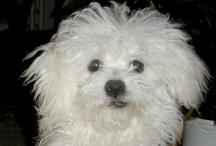 My little dog lady AMY / Bichon Bolognese AMY BOHÉM Pramaju (*19.8.2010)