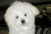 My little dog lady BESSY / Bichon Bolognese BESSY PRINCESS BOHÉM Pramaju (*23.11.2011)
