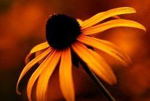 Fall Flowers (Sept., Oct., Nov.)