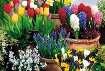 Bulbs - spring / Spring flowering bulbs that are planted in the fall.  / by shop bluegrass