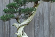Bonsai / by ourjennericlife