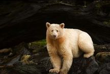 """Great Bear Rainforest / The Great Bear Rainforest is one of the largest remaining tracts of unspoiled temperate rainforest left in the world. Home to cougars, wolves, salmon, grizzly bears, and the Kermode (""""spirit"""") bear. The forest features 1,000 year old Western Red Cedar and 90 metre Sitka Spruce."""