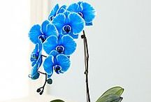 Blue / If blue is their favorite color, blue flowers and gifts from 1800Flowers.com will deliver a smile to their face!