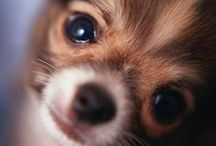 ~ Ay! Chihuahua ~ / Chihuahua, small dogs, pets, pooch / by Sandy Trageser