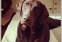 Chocolate Labs❤️ / by Tammy Lindquist
