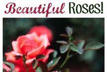 Gardening: Growing Roses
