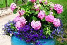 Gardening: Hydrangeas in Pots