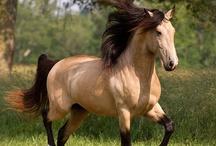 Buchskins / My future breed of horse... / by Ashlyn G.