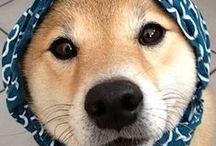 Just Shibas / Este tablero lo dedico a la raza de perritos de mis sueños, los Shibas Inus. Los amo! *_*