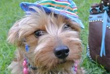 Dorkies / Mix the clownish & clever Dachshund with the playful & fearless Yorkie for the most adorkable dog ever! / by Kirby the Dorkie