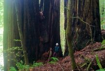 Trees / Big Tree's