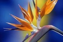 Bird of paradise - Strelitzia / Bird of Paradise flowers are associated with liberty, magnificence, and good perspective. Family : Strelitziacea. (crane flower, kraanvoëlblom) I love Birds of Paradise, and I do a lot of paintings with these colourful end exotic flowers as the main subject. (This board is dedicated to the flowers only and they could be in a photograph, in a decor area, in drawings and paintings and any artistic form). If you would like to join the group please drop me a line at virtual360@mac.com, Thank you.