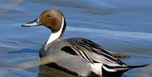 Anseriformes: Gansos, Cisnes, Patos, Marrecos / Classe: Aves Ordem: Anseriformes Família: ANATIDAE