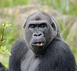 Primatas / A ordem dos Primatas é um grupo de mamíferos que compreende os popularmente chamados de macacos, símios, lêmures e os seres humanos. Os primatas surgiram de ancestrais arborícolas nas florestas tropicais. Com exceção dos humanos, que habitam todos os continentes, a maior dos primatas vivem em florestas tropicais e subtropicais das América, África e Ásia. Variam de forma extrema em tamanho, indo desde Microcebus berthae, que pesa 30 g, até Gorilla beringei graueri, que pode pesar mais de 200 kg.