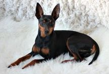 Oskar / Oskar is a Miniature Pinscher. Born 11.08.10