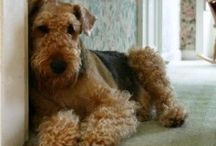 Airedale terrier <3