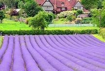 ♥✿⊱Lavender Love✿⊱♥ / I love the lavender plant and the smell.  I love all things made with lavender as well as the color.  I would love to have many lavender plants in my yard.