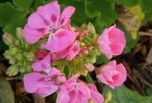 ✿ڿڰۣ(̆̃̃•♥❤ Geranium Love ✿ڿڰۣ(̆̃̃•♥❤ / I love geraniums, especially pink, peach and white ones