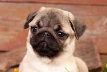 Pug ^-^ / I love dogs! Especially pugs ^-^