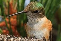 Hummers / Hummingbirds / by Jerrica Benton