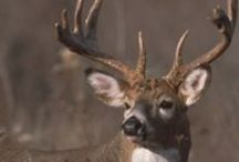 Iowa Hunting / Tips and tricks to help you enjoy the best of Iowa's great hunting opportunities.  / by Iowa Dept of Natural Resources