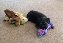 Border Terriers / We love and admire the hardy little dog of which we have had in the past and have a new pup now.