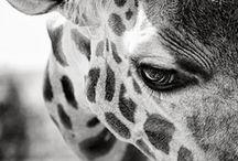 Giraffe & Zebra / by Duygu Küçer Yilmaz