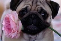 Precious Pugs / by Amy Emmet  (Hinson)