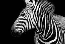Zebra Love / by Valerie Longey