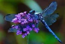 Dragonflies / Beautiful dragonflies!   / by Geminigail