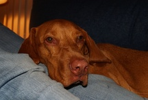 Vizsla ~ Ginger and her Friends / by Mary Lou DeMaio