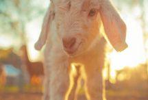 Ma ptite { biquette } / Collection de petites chèvres   ❤️❤️❤️#goats #farm